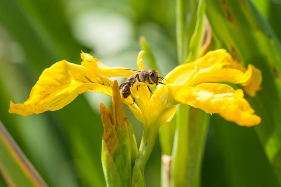 Biene-Sumpfschwertlillie-900x600