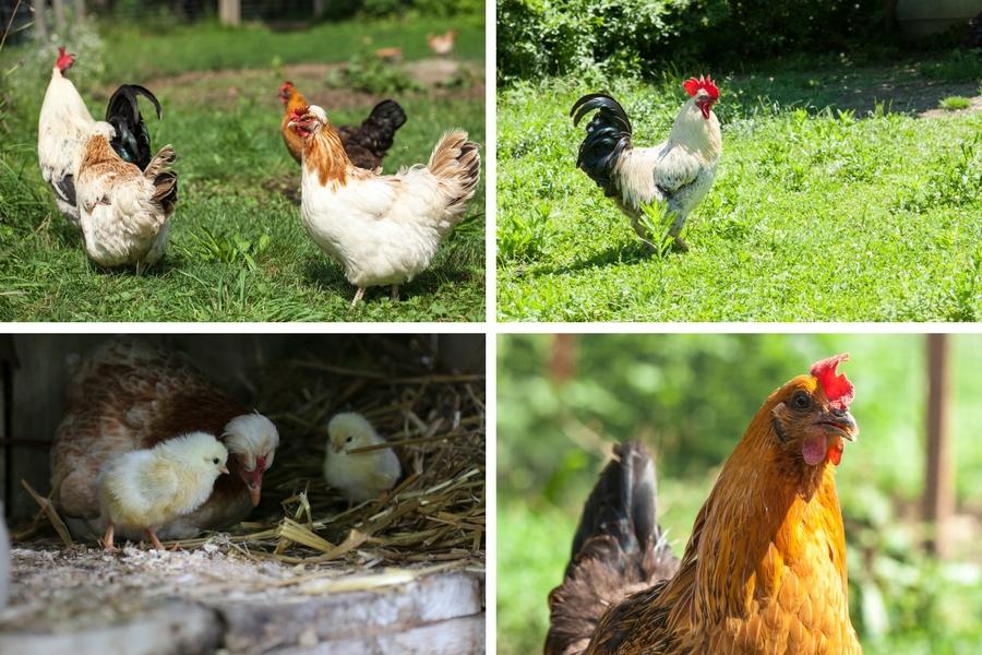 Unsere Hühner - Fotos: Annika Wascher und Thomas Burchhart