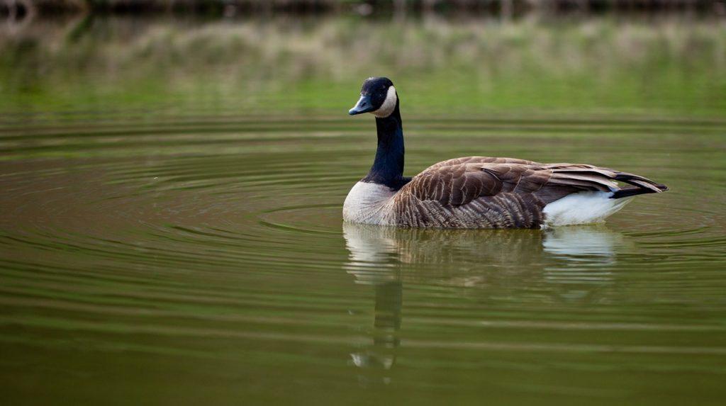 Gans auf Besuch bei der Teichanlage - Foto: Thomas Burchhart