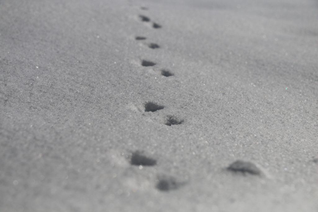Tierspur im Schnee - Foto: Annika Wascher