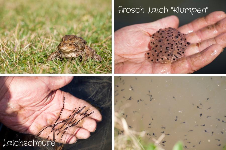 Kröten, Froschlaich als Klumpen, Laichschnüre der Kröten und unzählige Kaulquappen