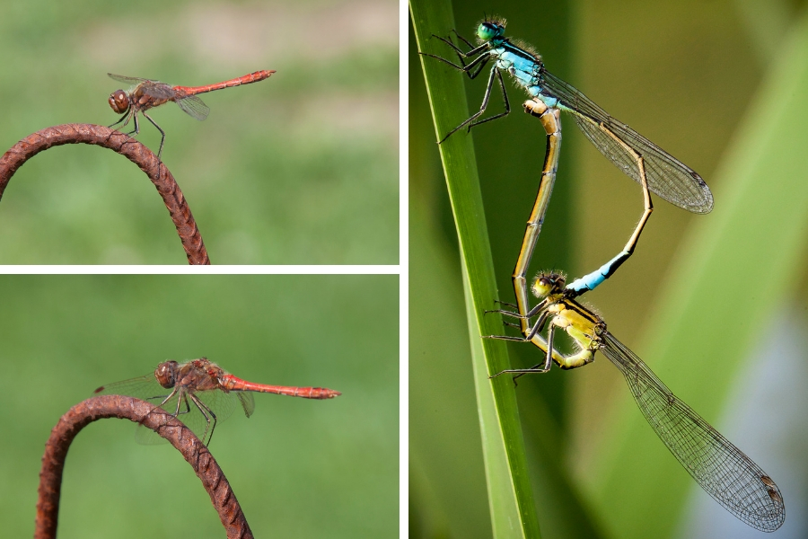 Beschäftigte Libellen - Fotos: Pia & Thomas Burchhart