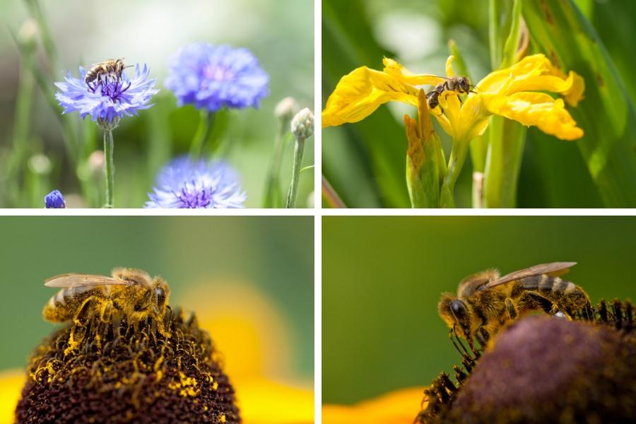 Honigbiene beim Nektar sammeln - Fotos: Burchhart