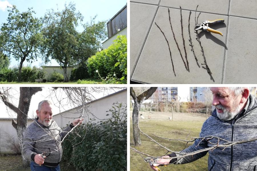 """Roter Astrachan im Garten bei Familie Wascher - Foto rechts oben """"Reißer"""" dabei sind die beiden rechten mit Fruchtknospen und daher nicht geeignet - Fotos Familie Wascher"""