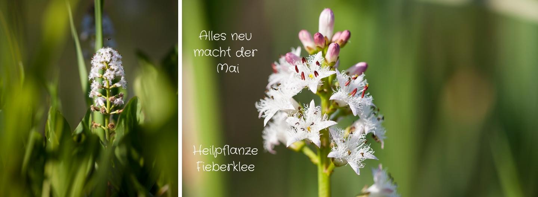 Alles neu macht der Mai Heilpflanze - Fieberklee