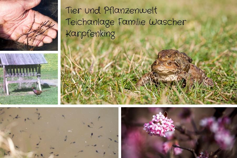Tier und Pflanzenwelt Teichanlage Familie Wascher Karpfenking