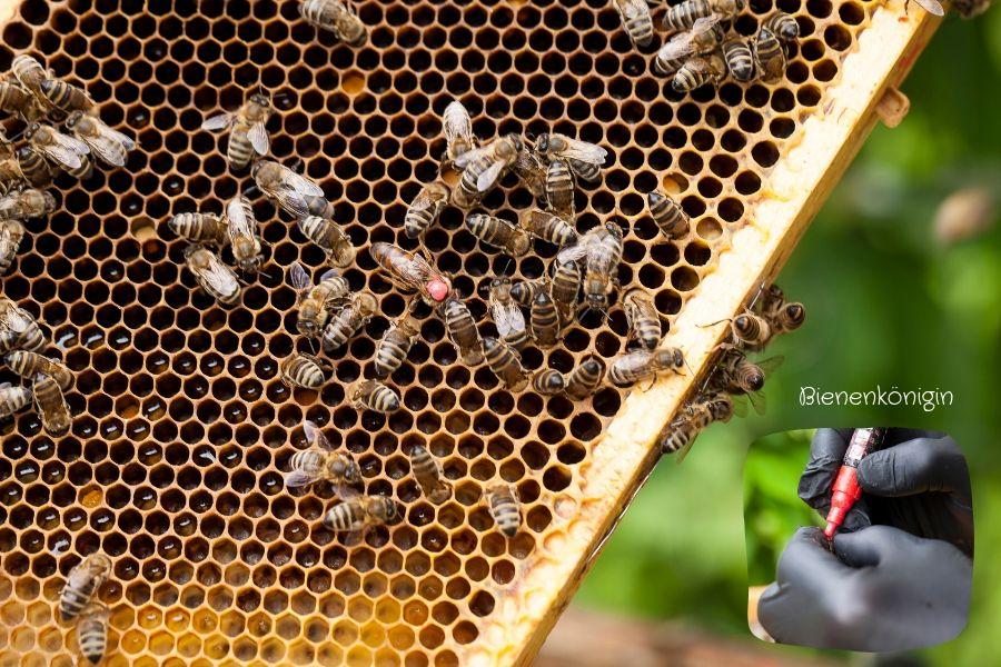 Bienenkönigin - Fotos: Pia Burchhart