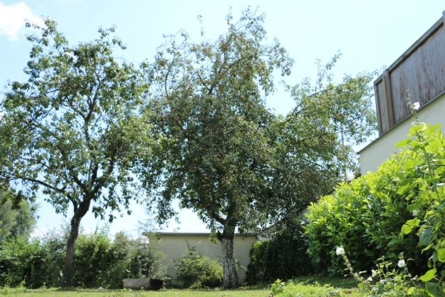 Geheimnisvoller Roter Astrachan - Apfelbaum aus Russland