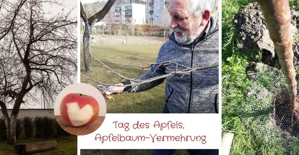 Tag des Apfels, Apfelbaum Vermehrung, Apfelbaumplfanzen