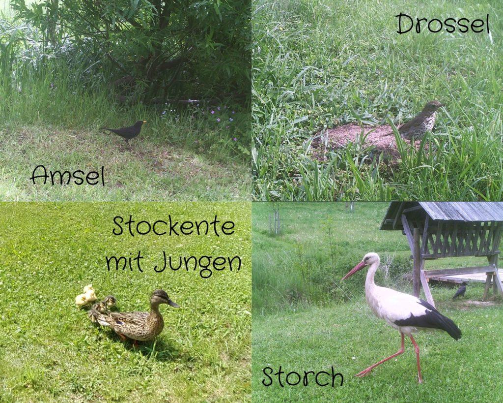 Amsel - Drossel - Stockente mit Familie - Storch
