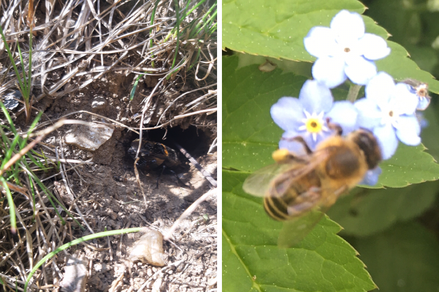 Insekten - links Grille - rechts Biene