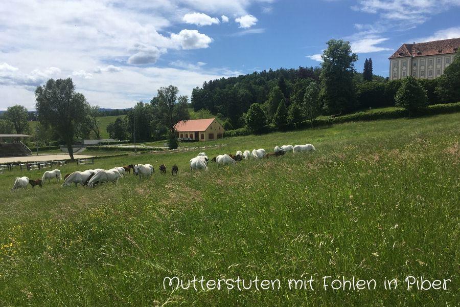 Mutterstuten mit Fohlen in Piber