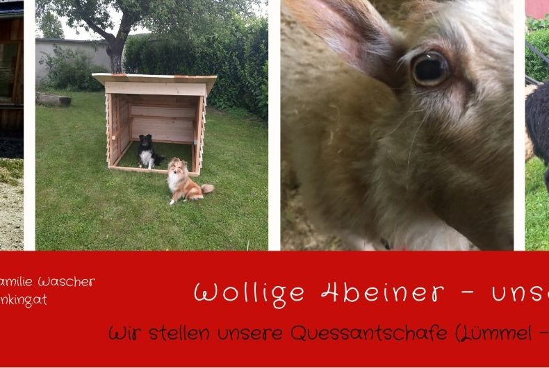 wollige 4beiner - unsere Schafe