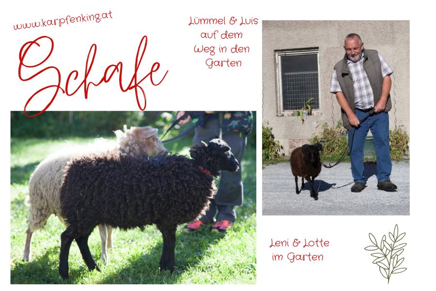 Unsere Schafe Herbst 2020